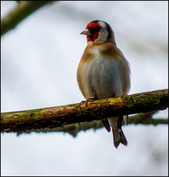 Goldfinch by civitas