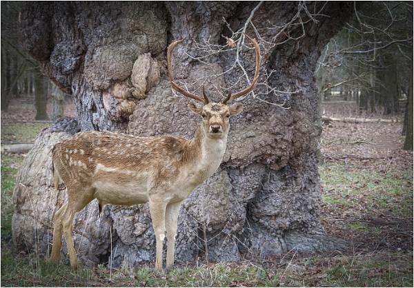 Deer by Tobytoes