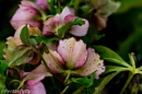 More hellebores by pentaxpatty