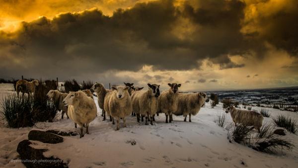 sheep in winter light by rabbit123