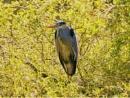 Heron by victorburnside