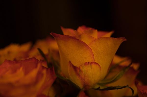 Rose by Teaka53