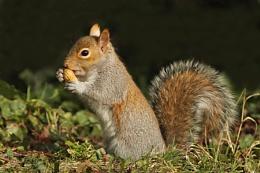 Grey Squirrel--Sciurus carolinensis.