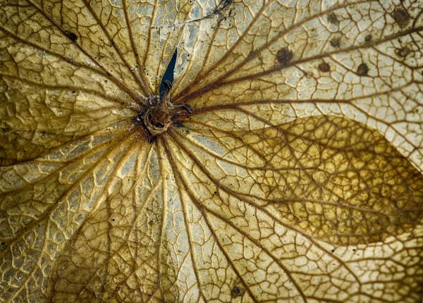 Dead Hydrangea Flowerhead