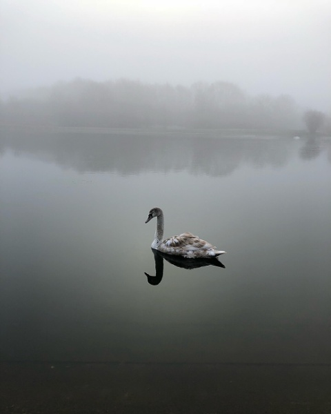 Swan by ClementineH
