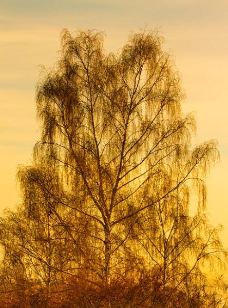weeping birch by peterjay80