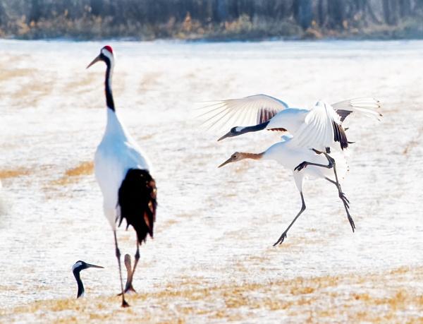 Snow cranes in Tsurui