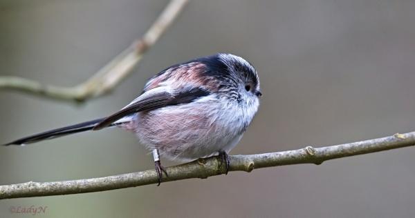 Longtailed tit (Aegithalos caudatus) by ladynewbury