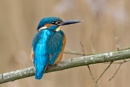 Male Kingfisher (Alcedo atthis) by DerekL