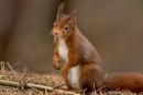 Red Squirrel by DerekL