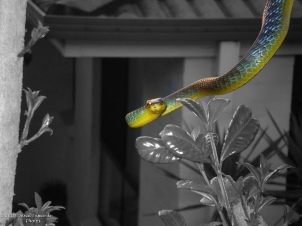 Green Tree Snake by David2212