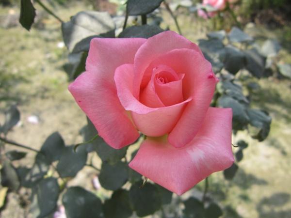 Morning Rose by AMITPRANTHO