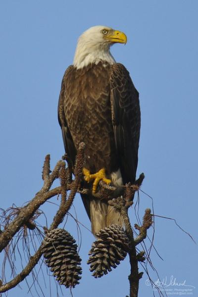 Eagle by BHSDallas