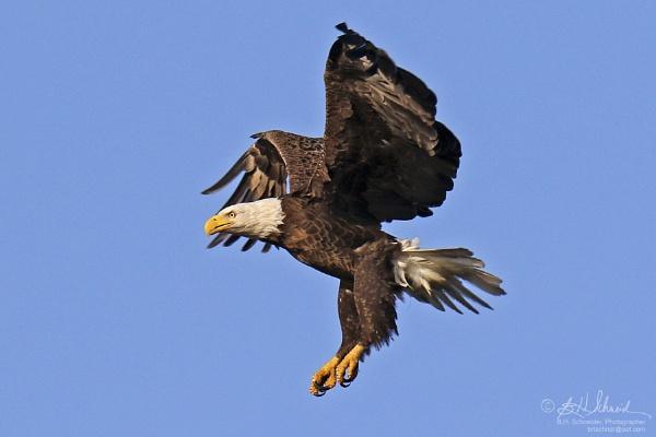 Eagle II by BHSDallas