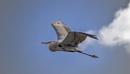 Great Blue Heron by bitterr_sweett