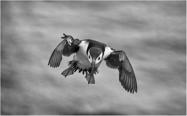 Skomer puffin by ValSaxby