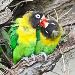 Photo : Lovebirds