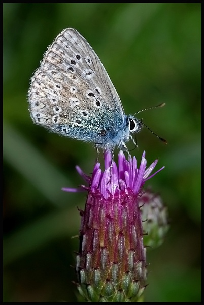 Common Blue Butterfly-Polyommatus icarus.. by Badgerfred