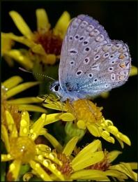 Common Blue(m) on Ragwort..