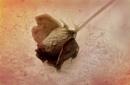 The last rose of summer by helenlinda