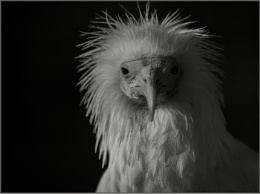 Egyptian vulture (Neophron percnopterus),