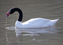 black necked swan by sparrowhawk