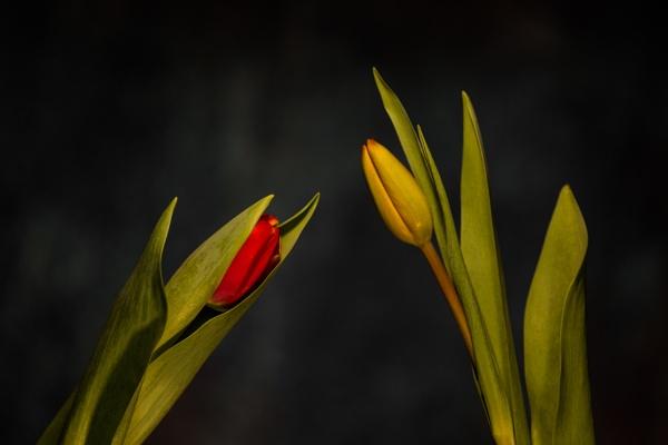 Tulips. by optik