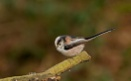 Long Tailed Tit by J_Caswell