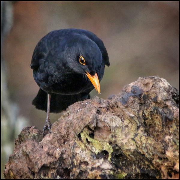 Mr. Blackbird by fentiger