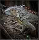 Green Iguana by PhilT2