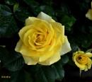 Yellow rose by debu