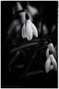Snowdrops Noir by Alan_Baseley