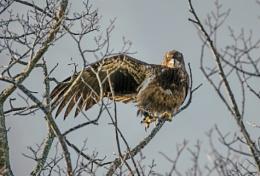 Juvenile Eagle having a Stretch