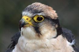 Juvenile perigrine falcon??
