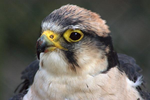 Juvenile perigrine falcon?? by Priestcove