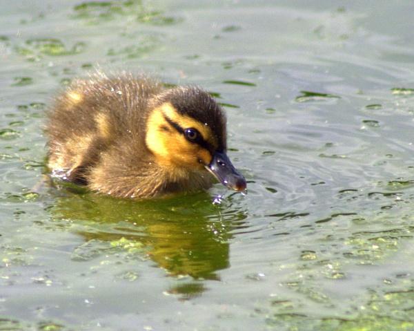 Baby mallard by Priestcove
