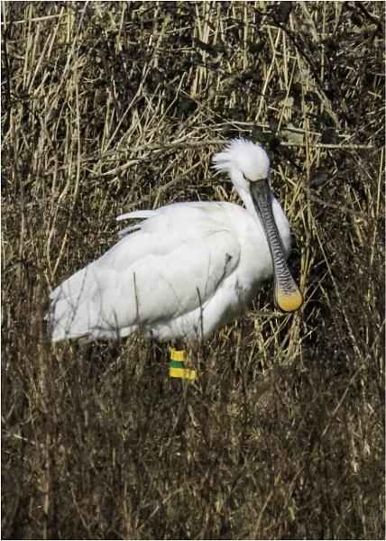 Spoonbill @ Lodmoor RSPB reserve by tedtoop