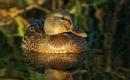 Duck on pond by georgiepoolie