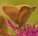 Meadow brown Butterfly by georgiepoolie