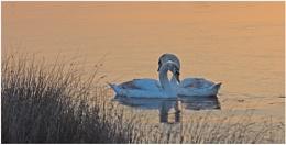 Swan rise...