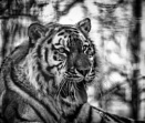 Tiger mono by doverpic