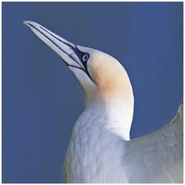 The Solan Goose