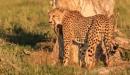A Cheetah by RobertTurley