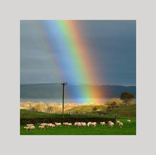 Sheep ignoring a rainbow by whatriveristhis