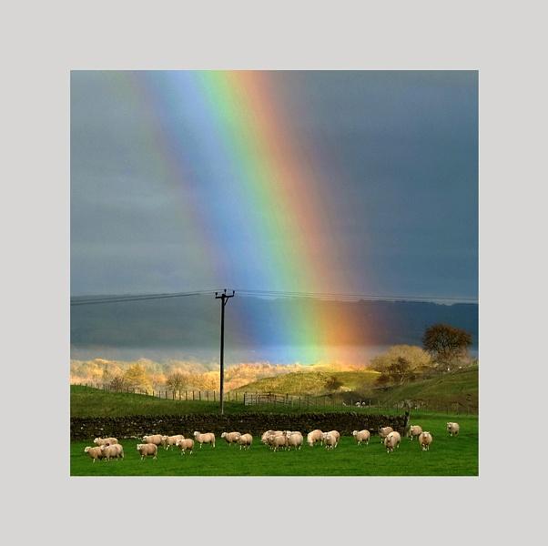 Sheep ignoring a rainbow