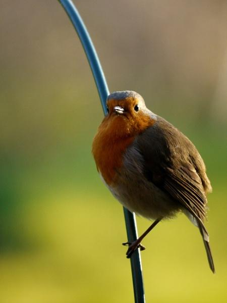 Robin by DerekHollis