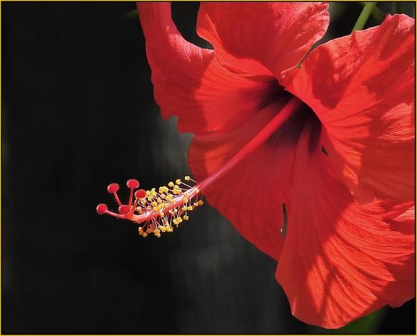 Hibiscus stamen No 2 by fotobee
