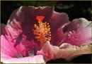 Hibiscus stamen No 3 by fotobee