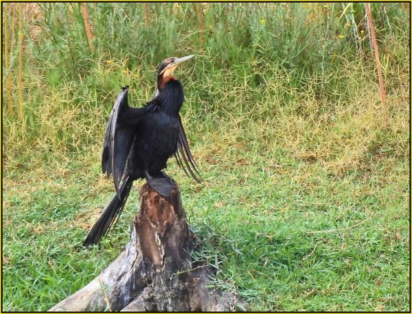African Reed Cormorant by fotobee