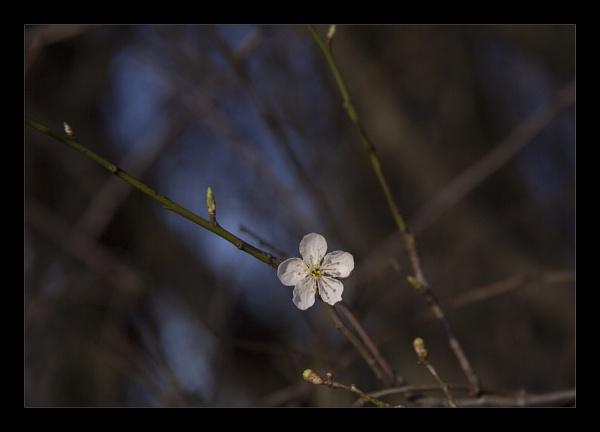 First Blossom